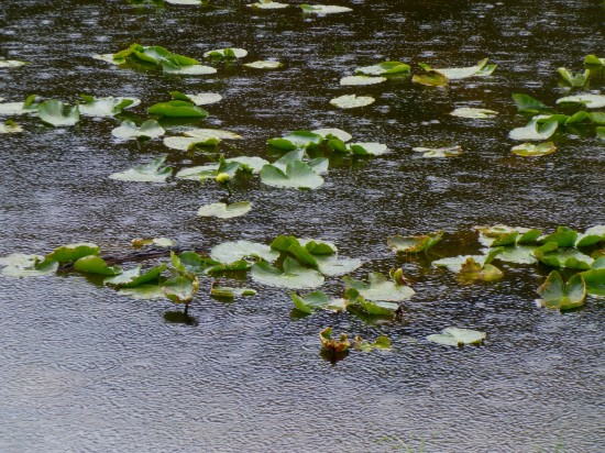 Raindrops and lily pads at Nymph Lake