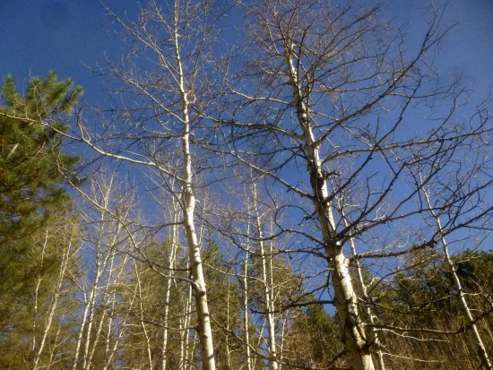 Aspen grove (on the cusp of winter)