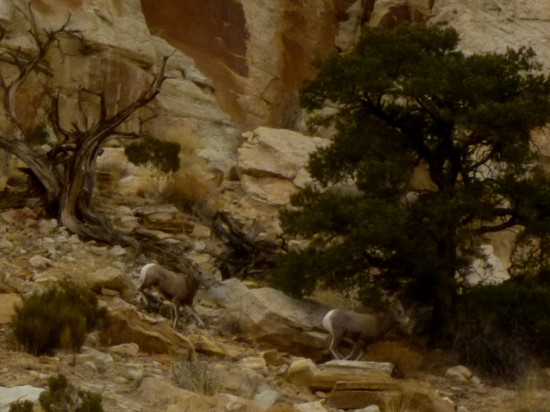Bighorn sheep on the Navajo Knobs Trail, Capitol Reef National Park