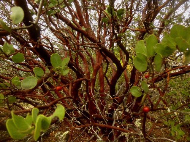Madrone tree, Table Rock Trail, Robert Louis Stevenson State Park