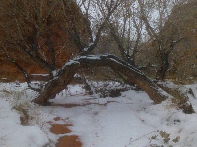 Tree arch, formed by a cottonwood root, Stair Canyon