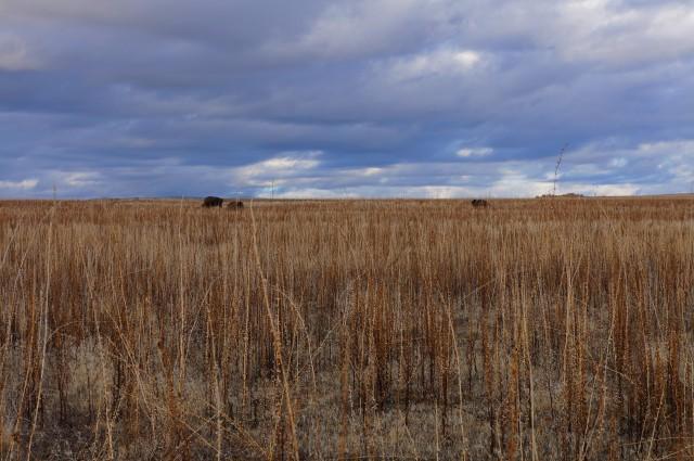Bison on the horizon, Antelope Island State Park