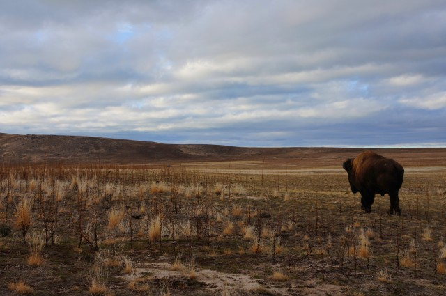 Bison sighting, Antelope Island State Park, January 2015