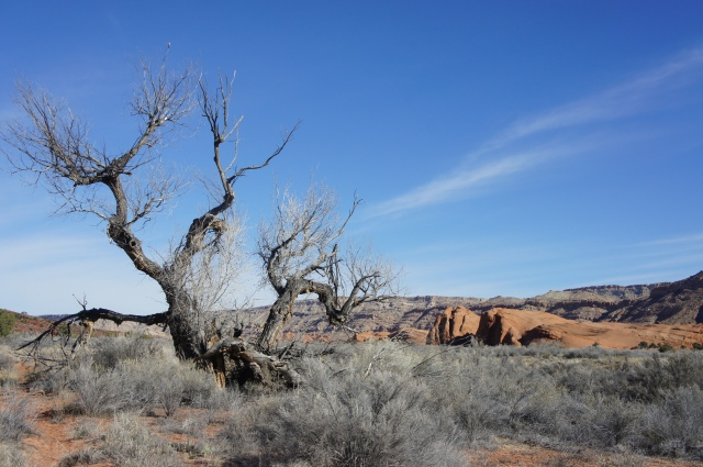 Gnarly cottonwood in Grand Gulch, Capitol Reef National Park