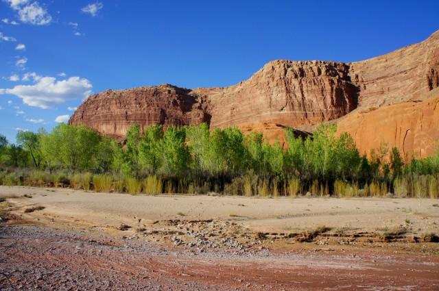 Hall Mesa rises above a grove of cottonwoods in Grand Gulch, Halls Creek Narrows route, Capitol Reef National Park