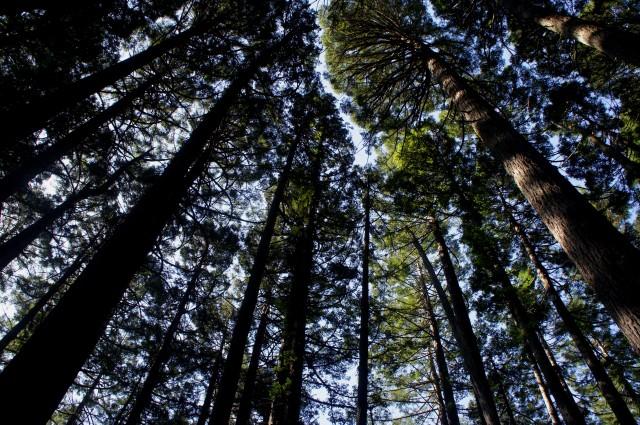 Sky-high redwoods in Mount Tamalpais State Park