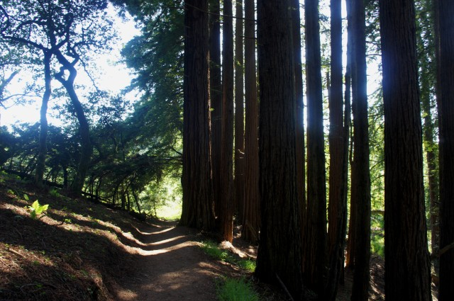 California Redwood trees along the Dipsea Trail, Mount Tamalpais State Park