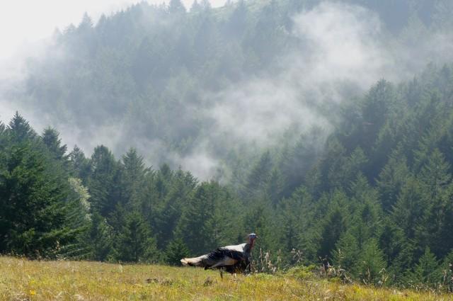 Enormous wild turkey along the Deer Park Fire Road in Mount Tamalpais State Park
