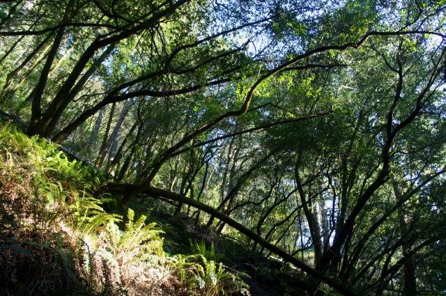 Beautiful bay trees in Steep Ravine