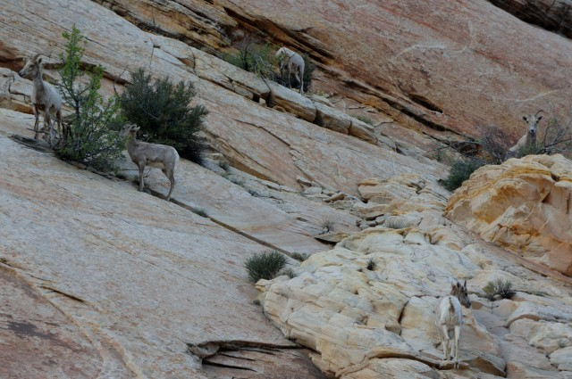 Bighorn sheep sighting in Capitol Gorge