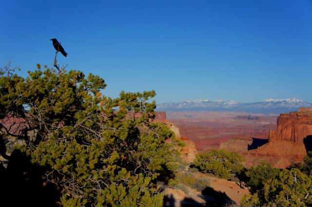 A sole raven keeps watch over the Shafer Canyon Overlook at the Island in the Sky