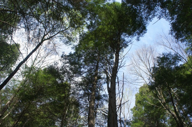Eastern hemlock trees along the Endless Wall Trail