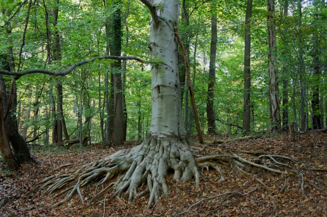 Tree of Heaven?