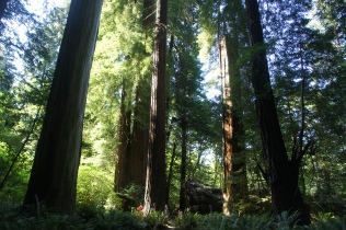Redwoods in Stout Grove