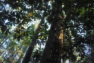Laurel oak along Freedom Trail
