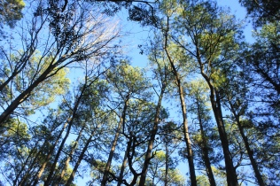 Loblolly pines dominate the canopy