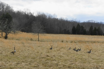 Collection of geese at National Colonial Farm