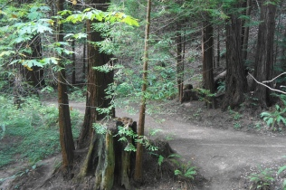 Redwoods and stumps in the Menard Grove