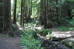 Purisima Creek flows through the redwoods