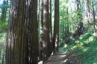 Redwoods along the Craig Britton Trail