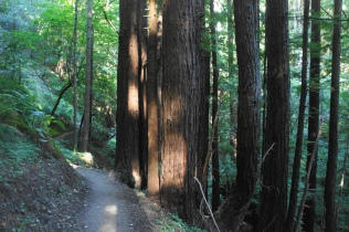 More redwoods along the Craig Britton Trail